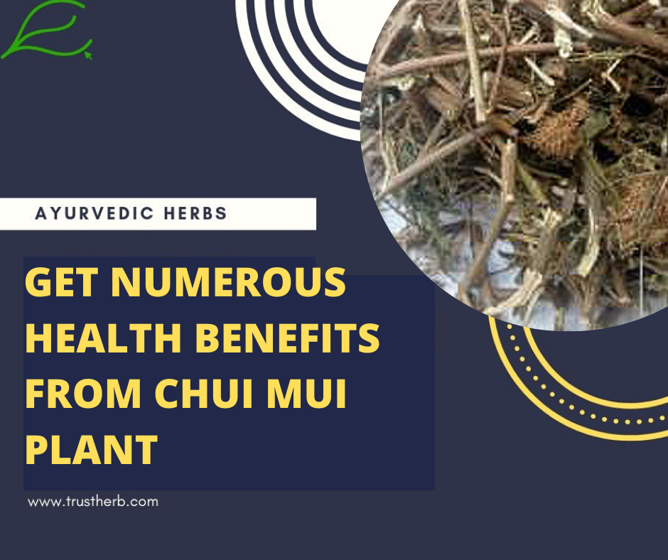 Chui Mui plant health benefits