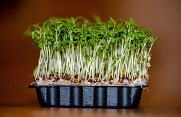 Garden Cress Plant