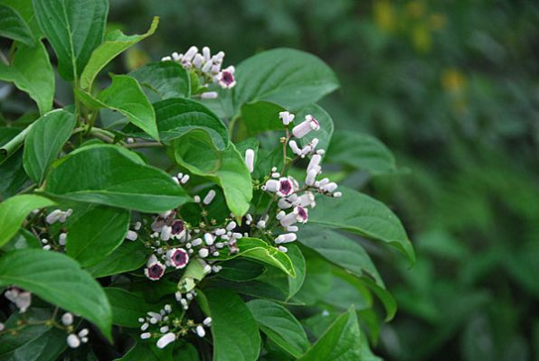 7 health benefits of chinese fever vine