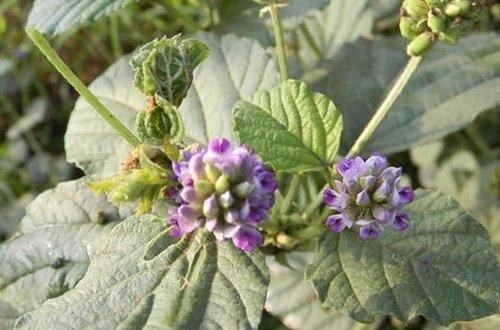 Babchi – Bakuchi - Psoralea Corylifolia - Trust The Herb