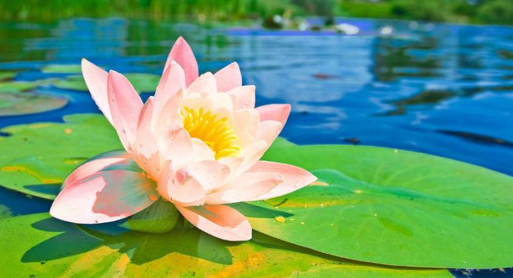 Health benefits of Indian Lotus