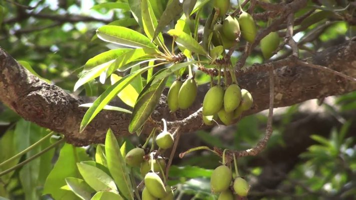 health benefits of butter tree