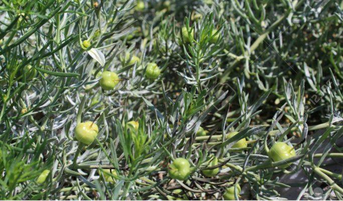Harmal plant for health benefits