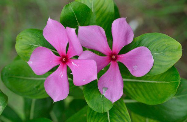 Health Benefits of Sadabahar