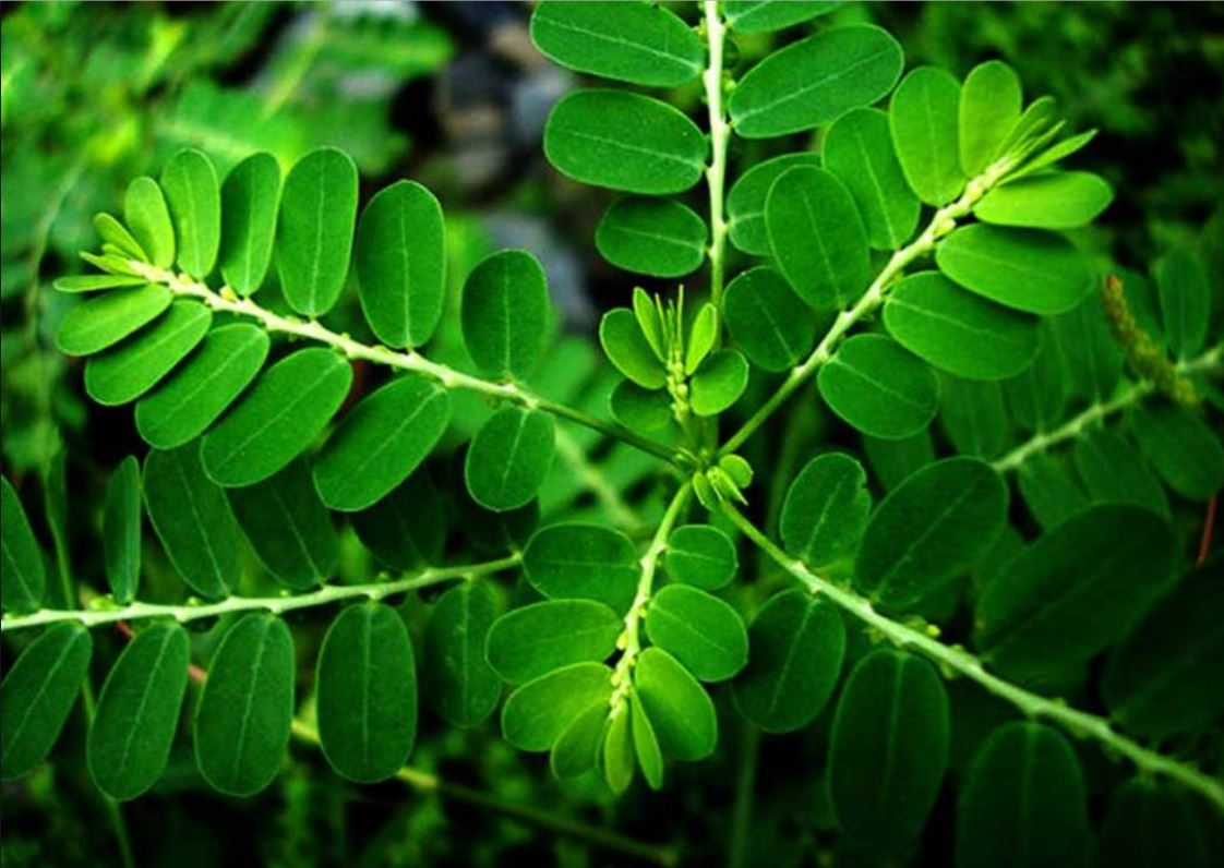 Bhumi Amla Side effects and recommended dosages