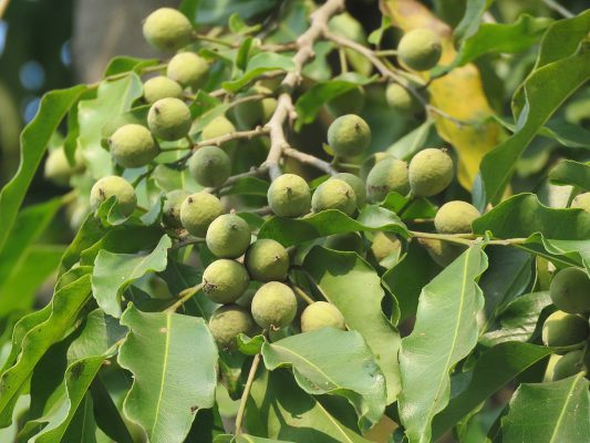 Health benefits of Putranjivaka