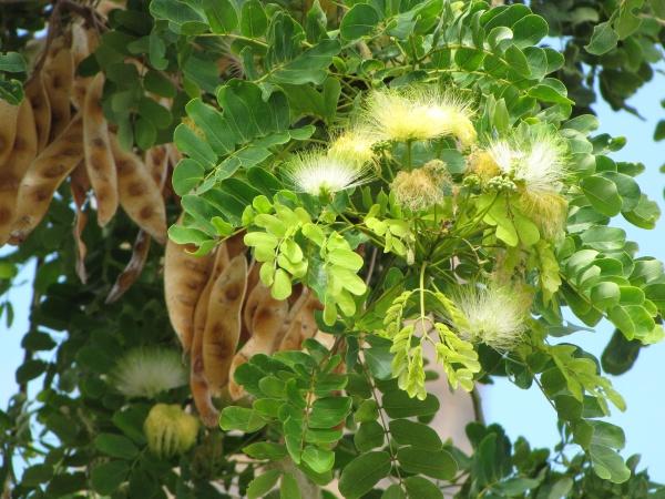 5 health benefits of albizia lebbeck