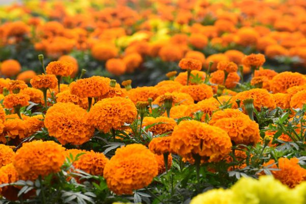 Health benefits of Marigold flower