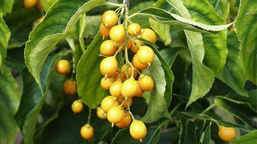 Health Benefits of malkangni oil