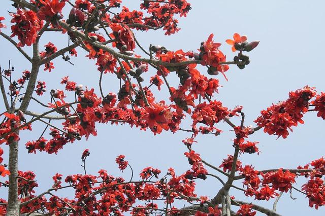Health benefits of Shalmali silk cotton tree